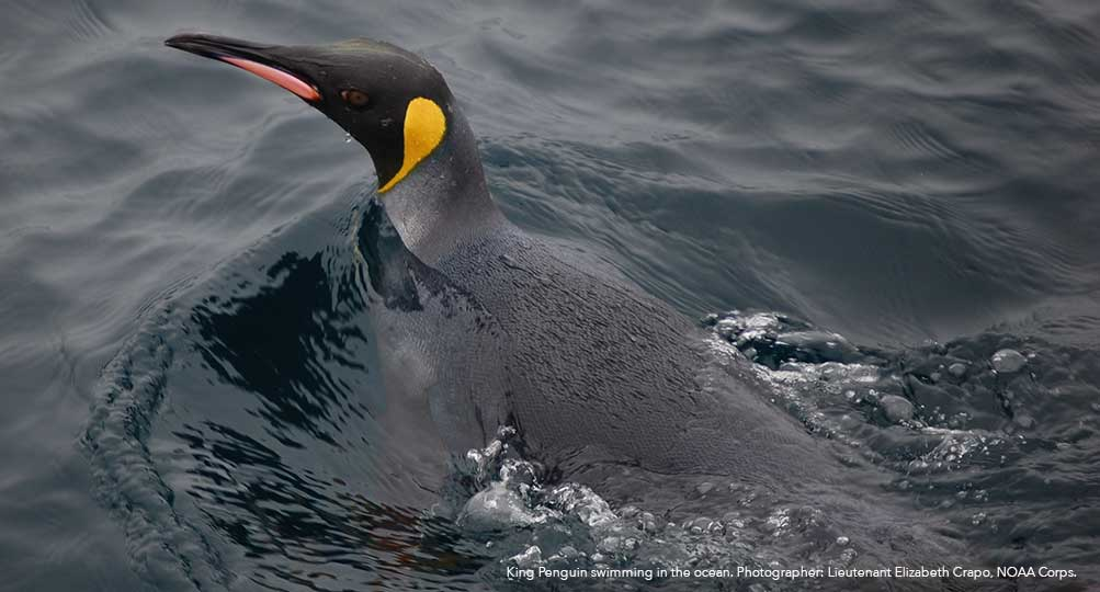 King Penguin swimming in the ocean.
